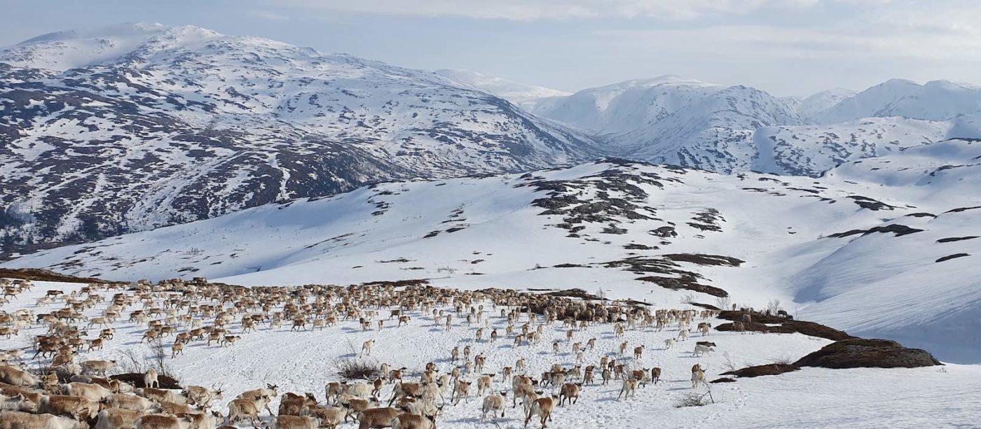 Bilde over Øyfjellet med reinsdyr som beveger seg gjennom landskapet