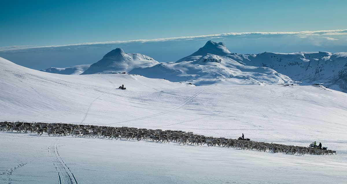 reinsflytting vesterfjellan nordland